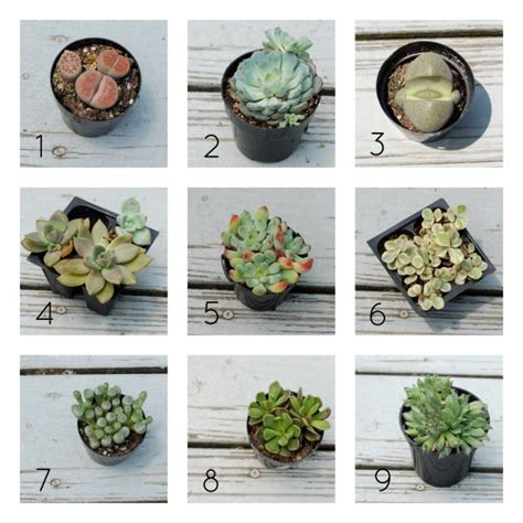 succulents types pictures types of succulents