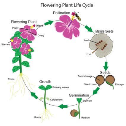 Flowering Plants Life Cycle Lovetoknow
