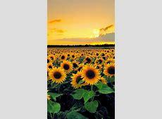 Sunset View From Sunflower Field