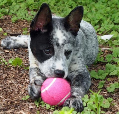 blue tick heeler shedding catahoula blue heeler mix temperament breeds picture