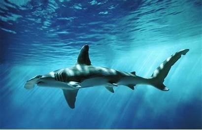 Shark Hammerhead Beach Foot Newport Closes Miles