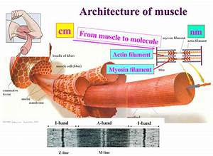 Atomic Resolution Of Muscle Contraction