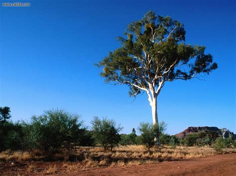 nature ghost gum tree central australia picture nr 17295