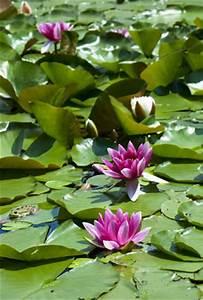 Schmucklilie überwintern Gelbe Blätter : beliebte schwimmpflanzen sorten pflege berwintern ~ Eleganceandgraceweddings.com Haus und Dekorationen