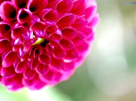 fond d écran fleur fond d ecran gratuit pour ordinateur fleurs fond d cran pc