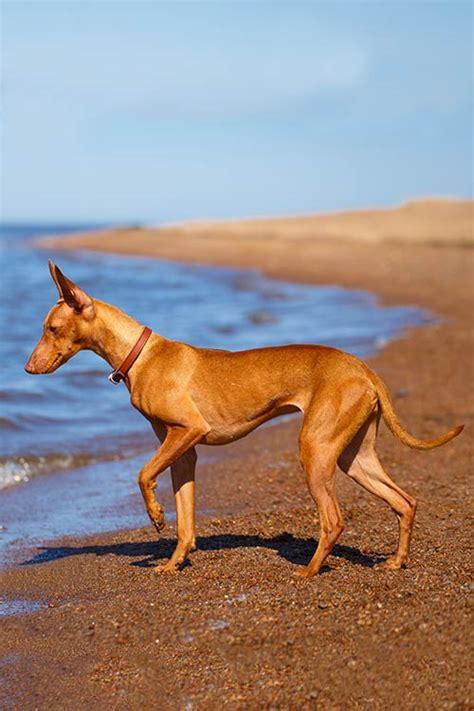 cirneco delletna dog breed information