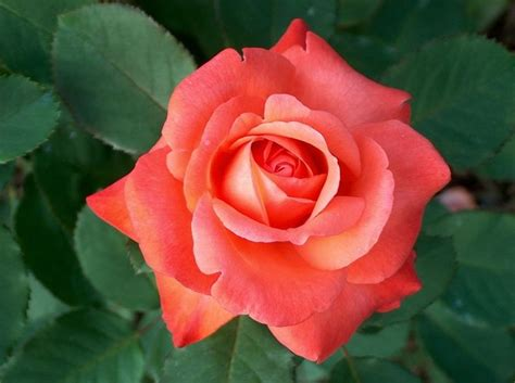 best smelling roses rose brigadoon best smelling rose ever a beautifully colored rose named for a fabled