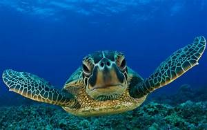 Animals reptiles turtles sea life ocean underwater water ...