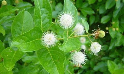 herbal plant lectus medicine pohon kina