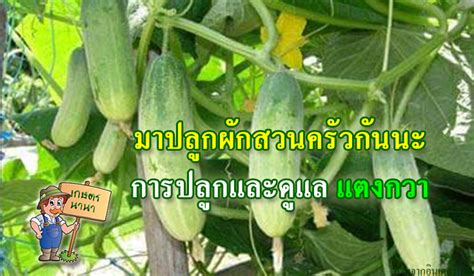 มาปลูกผักสวนครัวกันนะ การปลูกและดูแล แตงกวา - เกษตร นานา