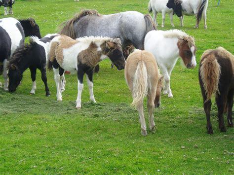 shetland islands ponies viajes