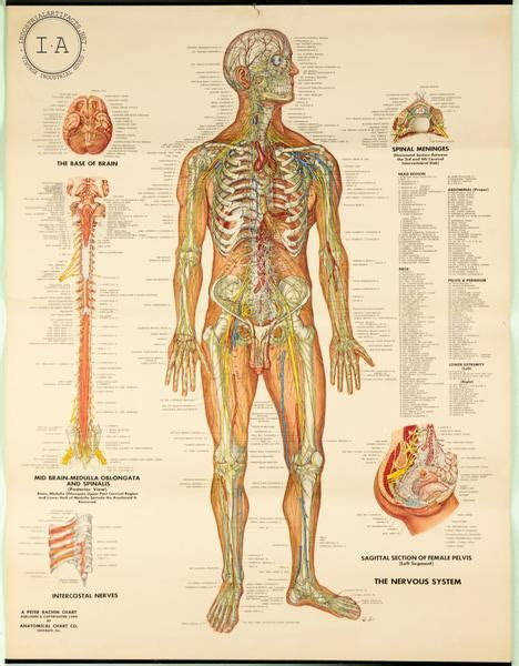 This post is part of a series called human anatomy fundamentals. C. 1949 Human Anatomy Nervous System Chart Male and Female - Industrial Artifacts