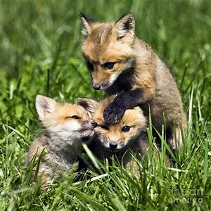 Red Fox Babies - D006647 Photograph by Daniel Dempster