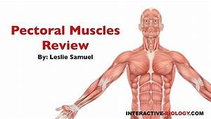 086 Pectoral Muscles Review