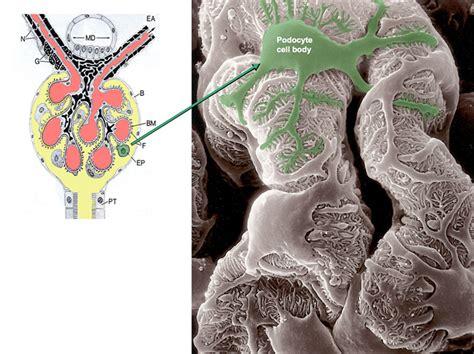 podocytes  glomerular diseases nephrolab cologne