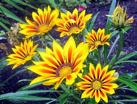TESTS: Vai pazīsti manas dārza puķes? - Spoki