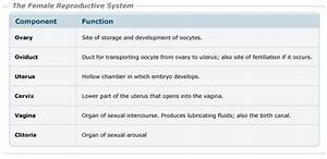 Photos  Female Reproductive Parts And Functions