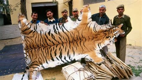 The Illegal Trade in Tiger Parts – Crown Ridge Tiger Sanctuary