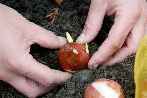 wann pflanzen wann ist die beste zeit um tulpen zu pflanzen 187 pflanzzeit und tipps