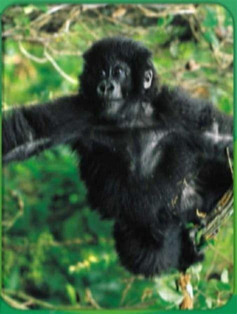 gorilla baby einstein animals noahs ark animals
