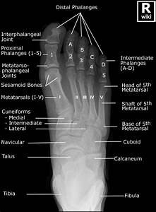 Medical Diagram Of The Right Foot