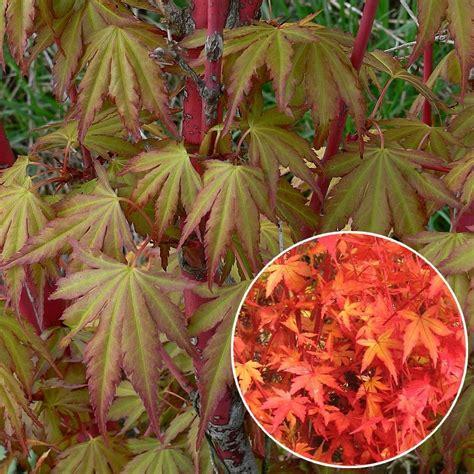 erable du japon en pot interieur les 233 rables du japon pepinierelelann p 233 pini 232 res vente d arbustes plantes vertes en pot et