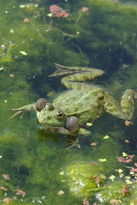 dans l intimit 233 des grenouilles codex virtualis