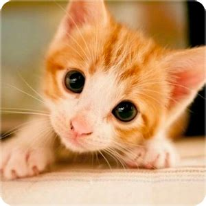 kitten wallpapers android apps  google play