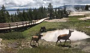 Bear, Chases, Group, Of, Elk, Around, Yellowstone, U2019s, Thermal