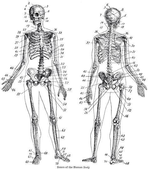 vintage anatomy skeleton images  graphics fairy