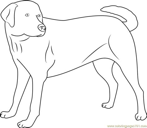 labrador coloring pages yellow labrador looking new coloring page free