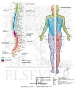 Hand Dermatomes Nerve Sensory