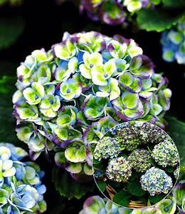 Hortensie Als Zimmerpflanze : freiland hortensie magical revolution 1a pflanzen ~ Lizthompson.info Haus und Dekorationen