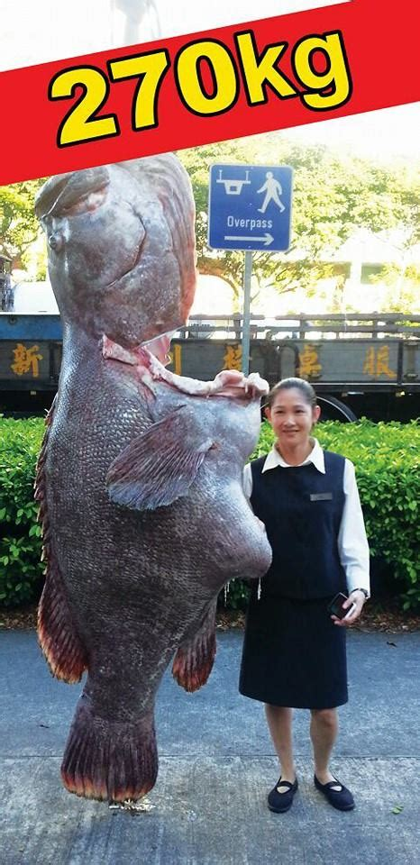grouper king fish giant seafood shaw towers restaurant 270kg