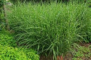 Miscanthus Sinensis   www.imgkid.com - The Image Kid Has It!
