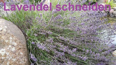 lavendel richtig zurueckschneiden lavendel schneiden