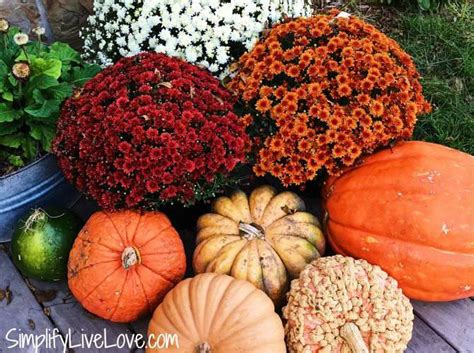 can fall mums survive frost these 5 easy tips will help you keep fall mums alive all season simplify live