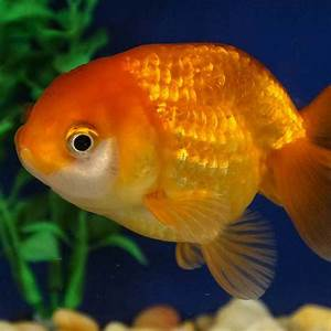 Ranchu Goldfish   Next Day Koi