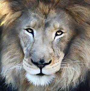 M'bari is the King of the San Diego Zoo | photo: Marco ...