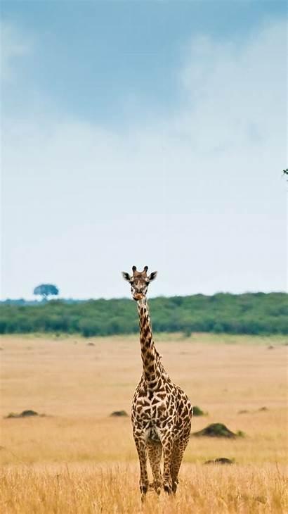 Giraffe Background Desktop Iphone Wallpapers Edi Backgrounds