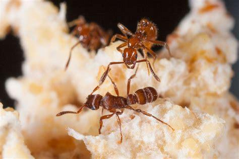 ants parasite parasites farmer parasitic ant host hosts mercenaries fungus benefits enemies mercenary draft guest bottom hole invaders hormigas defend