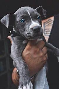 cute pitbull puppy | Tumblr
