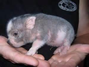 Baby Micro Mini Teacup Pigs
