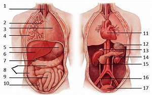 Human Body Diagram With All Organs