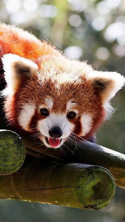 Panda Animal Iphone Cool Pandas Wallpapers Background