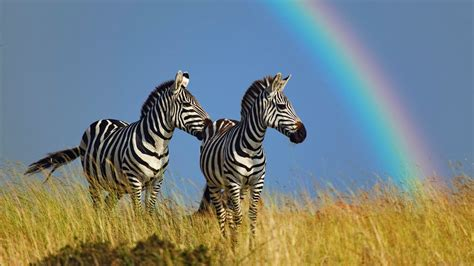 Rainbow Animal Wallpaper - animal zebra rainbow photo capture hd wallpapers