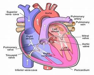 Heart Valve Replacement  Which Type Is Best For You