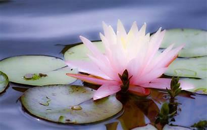 Lotus Wallpapers Desktop Wallpapersafari Reactions Pink