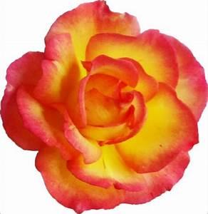 Gelb Rote Rosen Bedeutung : 06 biographie lebenslauf von ulrich rose ~ Whattoseeinmadrid.com Haus und Dekorationen