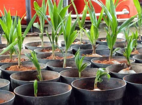 jual bibit kelapa pandan wangi 50 cm jual bibit tanaman